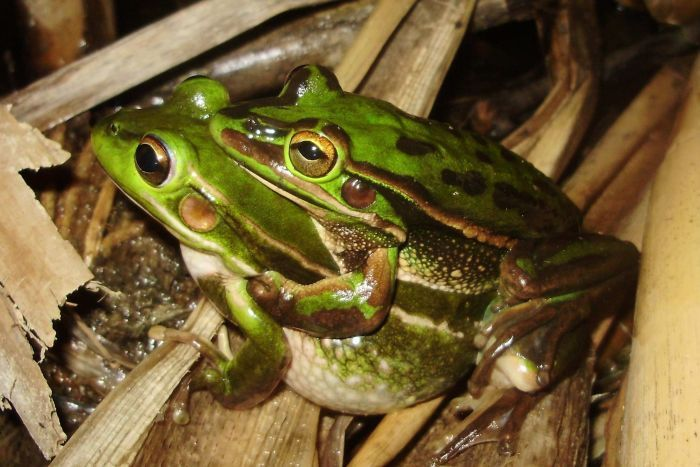 Photo of Green and Golden Bell Frog mating on Kogarah Golf course - by Grant Webster